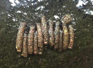 Caddisfly Larvae Casings on a Rock in the Neversink River