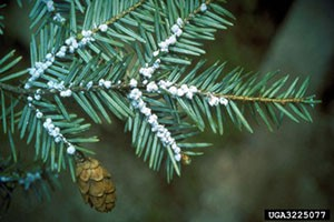 White Woolly egg ovisacs are an indicator for hemlock woodly adelgid infestation