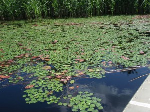 Water Chestnut. photo courtesy of Northeast Aquatic Nuisance Species Panel