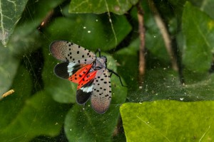 Adult Spotted Lanternfly. Photo:  USDA