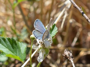 Karner Blue butterfly collecting nectar