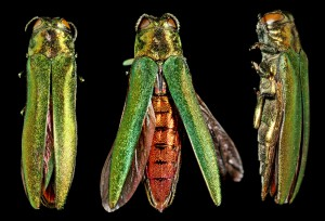 ID the Emerald Ash Borer. photo courtesy of NYIS