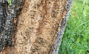 Emerald Ash Borer Damage to an Ash tree. photo courtesy of Woodworking Network