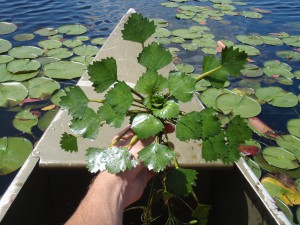 Leaf system of Water Chestnut. photo courtesy of Northeast Aquatic Nuisance Species Panel