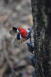 Spotted Lanternfly is an emerging invasive species to our region. Photo:  USDA