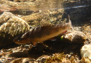 Brook Trout. Photo by Ed Ostapczuk