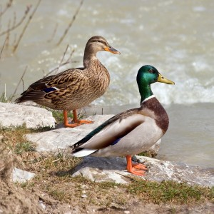 A female and male pair of Mallard ducks (Anas platyrhynchos)