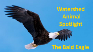 Bald Eagle Title Slide